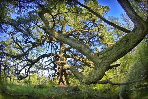 Skyline Tree Care Wolf Tree